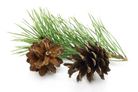 Cones with fir tree branch on the white background photo