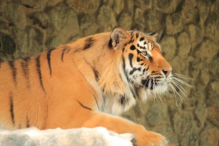 panthera tigris: Royal bengal tiger closeup on stones background Stock Photo