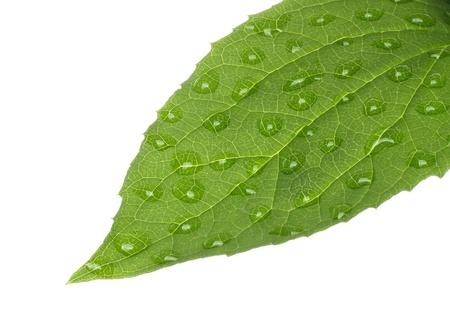 Green leaf with water drops on white background  photo