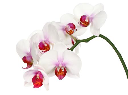 Beautiful white flower Orchid, phalaenopsis, close-up isolated on white background