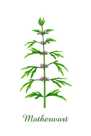 Motherwort plant, green grasses herbs and plants collection, realistic vector illustration Illustration