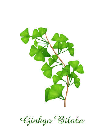 Ginkgo Biloba plant, green grasses herbs and plants collection, realistic vector illustration Illustration