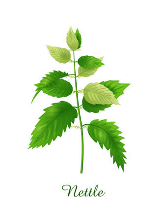Nettle plant, green grasses herbs and plants collection, realistic vector illustration