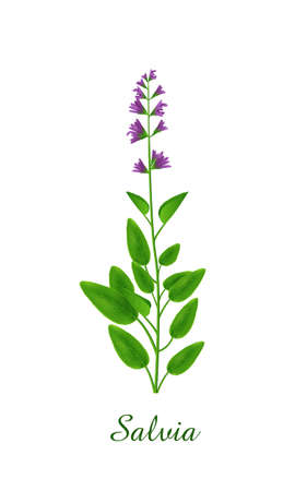 Salvia plant, green grasses herbs and plants collection, realistic vector illustration Illustration