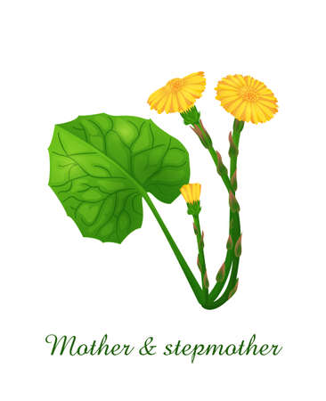 Mother and Stepmother plant, green grasses herbs and plants collection, realistic vector illustration