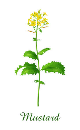 Mustard plant, food green grasses herbs and plants collection, realistic vector illustration