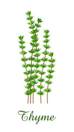 Thyme plant, food green grasses herbs and plants collection, realistic vector illustration
