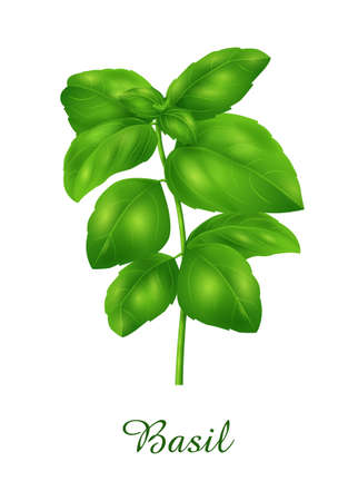 Basil plant, food green grasses herbs and plants collection, realistic vector illustration