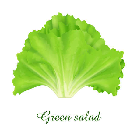 Green Salad plant, food green grasses herbs and plants collection, realistic vector illustration