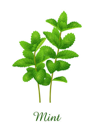Mint plant, food green grasses herbs and plants collection, realistic vector illustration Illustration