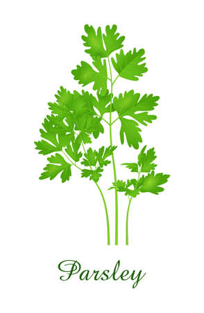 Parsley plant, food green grasses herbs and plants collection, realistic vector illustration