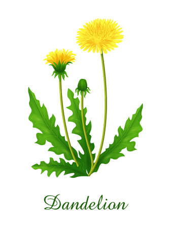Dandelion plant, food green grasses herbs and plants collection, realistic vector illustration