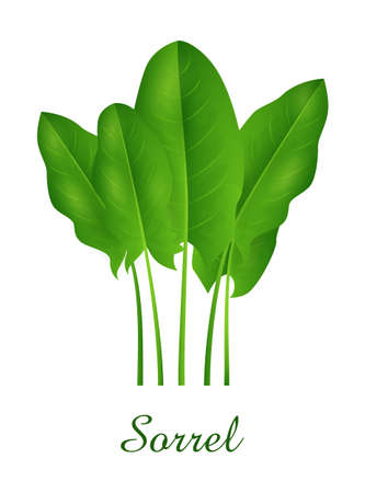 Sorrel plant, food green grasses herbs and plants collection, realistic vector illustration Illustration