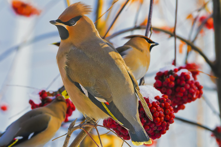 Bright birds Waxwings on a Rowan branch  A young birds Waxwings  Bombycilla garrulus , an irruptive winter species in Siberia, perching on a Rowan branch laden with the berries which there loves  photo