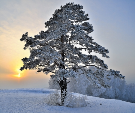 Pine tree on a snowy hill  photo
