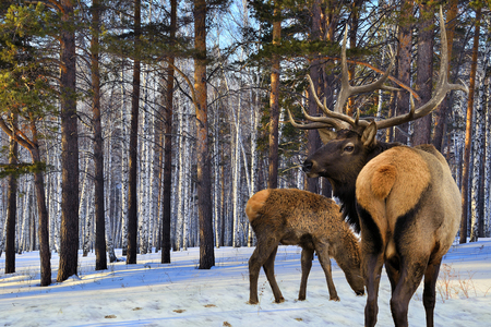 Adult and a small red deers in the winter forest on a sunny day photo