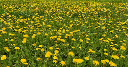 Field of yellow dandelions - summer floral background photo