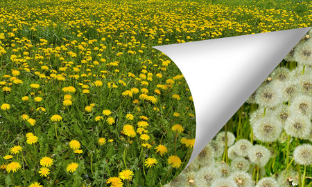 Field of yellow dandelions - summer floral background. Scroll the page already see the faded white fluffy flower heads. The concept of the passage of time change natural cycles  photo