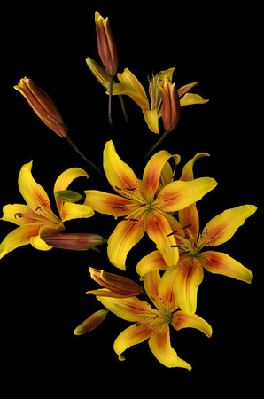 Yellow lilies in the garden close-up on the black background