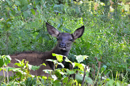 Young  Red Deer Fawn lying in the grass photo