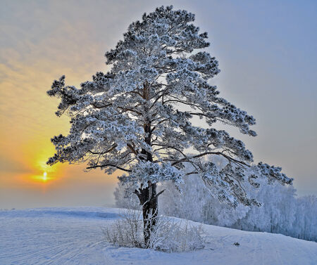 Lonely tree in the foreground. In the background snowy forest and sunset Stock Photo