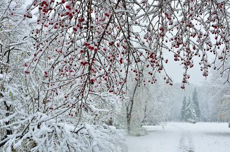 arbol de manzanas: Una rama cubierta de nieve del �rbol de manzanas silvestres con frutos rojos en el primer plano y el sendero que conduce fuera en el parque de invierno