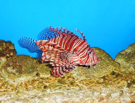 zebra lionfish: Tropical Lionfish Pterois  is a beautiful, but very dangerous and venomous exotic fish
