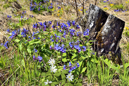 pulmonaria: Birch tree stump in the forest among the blue and white spring flowers