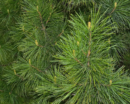 regain: Cedar - a tree-surgeon. All parts of this plant have highly therapeutic properties. Since ancient times, its nuts, resin and pine needles turned into miraculous medicines and cosmetics, have helped to maintain or regain health Stock Photo