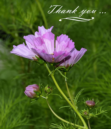notecard: Pink flowers and buds of Cosmos and text with words of thanks