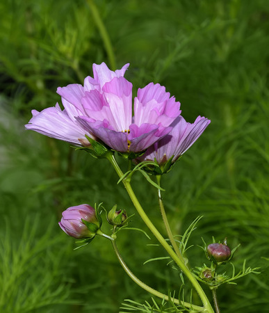 notecard: Pink cosmos flowers and buds on a green leaves background