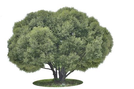 salix: Big green tree Salix alba silver  isolated on the white background Stock Photo