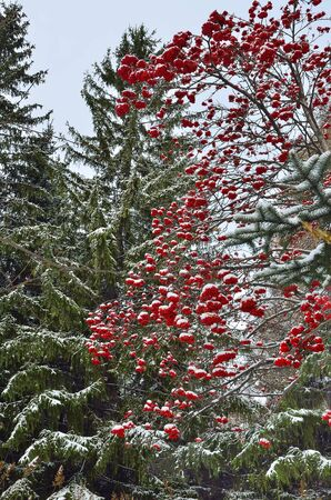 bunchy: Winter background with red rowan berries and fir trees snow covered