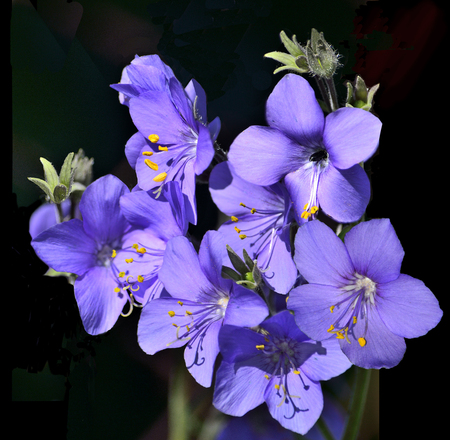 valerian: Jacobs Ladder or Greek valerian (Polemonium caeruleum) isolated on a black background. The therapeutic effect of this plant is 8-10 times stronger than valerian. Stock Photo