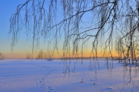 huellas de animales: ramas de abedul sobre un fondo de color rosa paisaje invernal puesta del sol. Pistas animales en la nieve, sombras azules y rosas miradas del sol