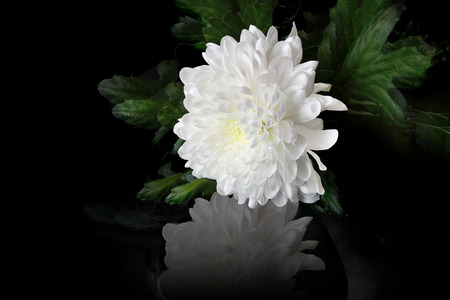Beautiful white chrysanthemum flower with leaves and reflection on a black background.
