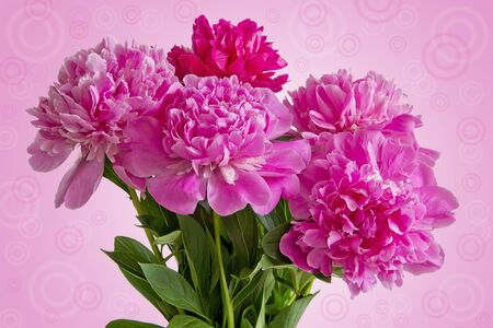 pion: Greeting card with Bouquet of five pink peonies  with green leaves close up on pink gradient background
