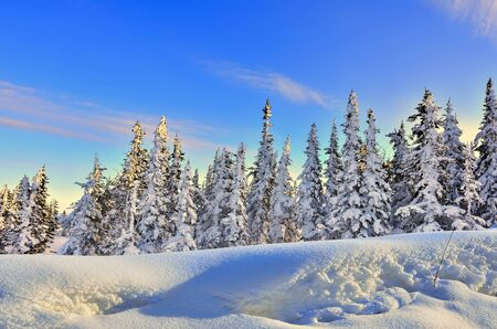 Picturesque winter landscape with snow covered coniferous forest at the light of sunset