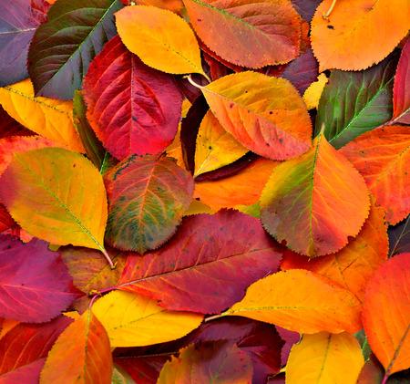 Vivid Colorful Autumn leaves texture close up - seasonal background