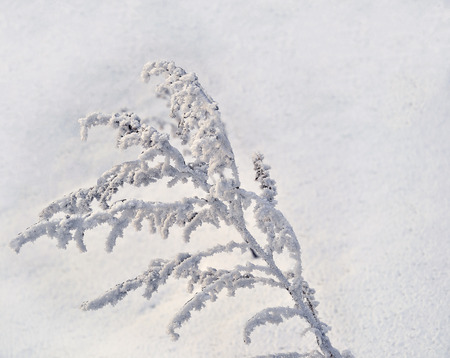 prognosis: Hoarfrost, rime on a branch, dry grass snow covered in sunlight, frost and sun - winter background Stock Photo