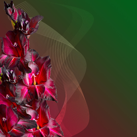 velvety: Bouquet of maroon gladiolus with velvety petals on gradient background, decorated with striped waves. Beautiful greeting card or floral border with a free place for text