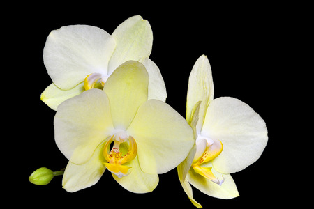 Delightful gentle yellow orchid flowers close up on a black stock delightful gentle yellow orchid flowers close up on a black background isolated middle mightylinksfo