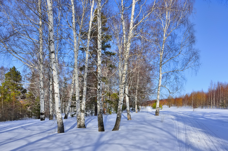 thawed: Sunny early spring day in the birches and pines forest. Bright blue sky and shadows on a snow, swollen buds of white birch trees painted  in a reddish tint.
