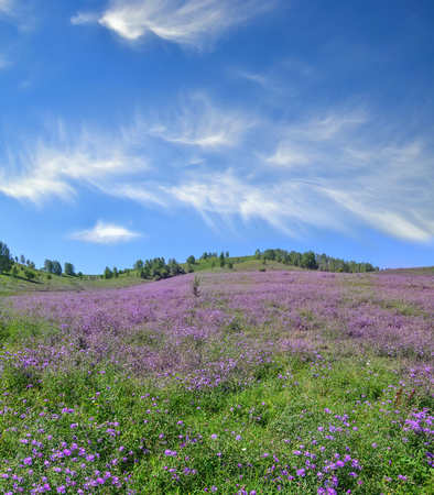 Picturesque mountain flowering meadow with lilac wildflowers and beautiful spindrift clouds on blue sky at bright summer day - admirable sunshine landscape of Altai mountains, Russia
