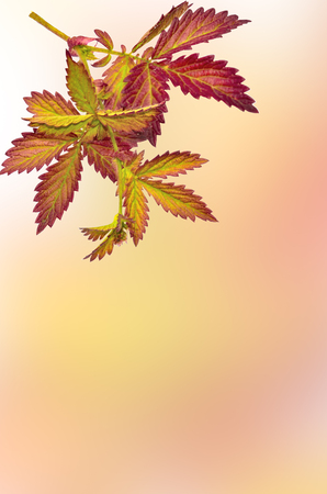 Bright autumnal twig of wild plant from the meadow with colorful leaves close up, on a blurred pastele background