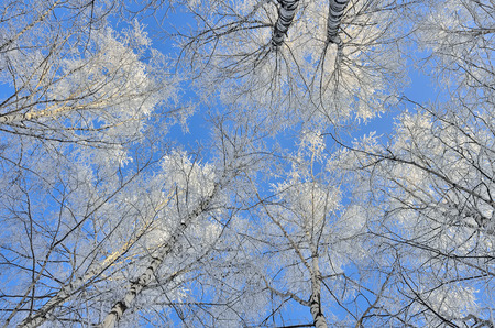 Tops of birch trees with hoarfrost covered on a blue sky background - beautiful natural winter background  Foto de archivo