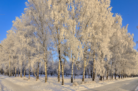 Sunny winter landscape in the city park with birch trees hoarfrost covered on a blue sky background