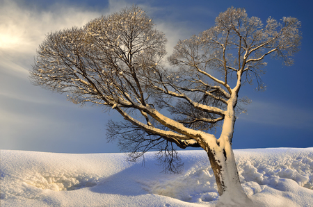 Lonely tree hoarfrost and snow covered in sunlight of sunset - fairy tale of winter nature Stock Photo