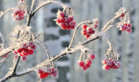 Viburnum branch with red berries hoarfrost covered close up - beautiful winter landscape at bright sunny day in the birch forest