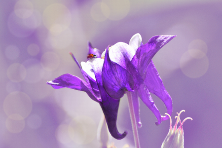 Beautiful spring gentle background - red ladybug on petals of purple with white aquilegia or columbine flower on artistic blurred background with bokeh